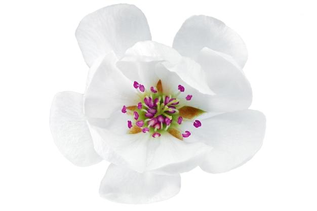 Pojedynczy kwiat magnolii. na białym tle.