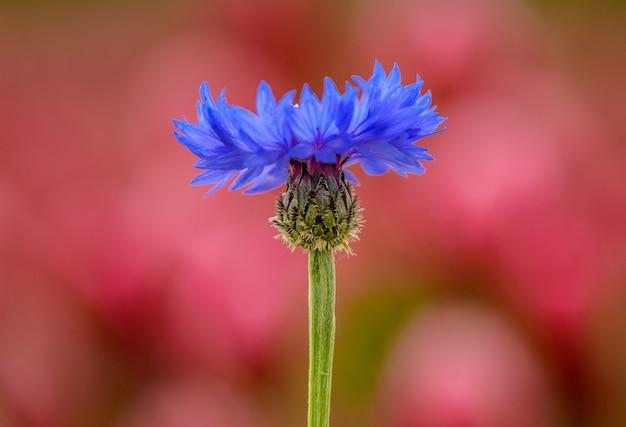 Pojedynczy kwiat niebieski chaber lub kawaler (centaurea cyanus) na fioletowym tle, szczegół