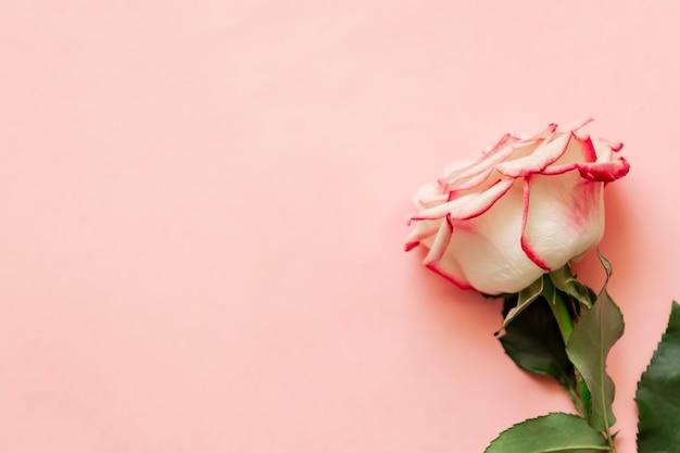 Pojedynczy kwiat róży na różowym tle z miejscem na tekst