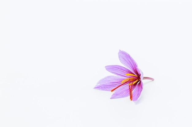 Pojedynczy kwiat szafranu na białym tle