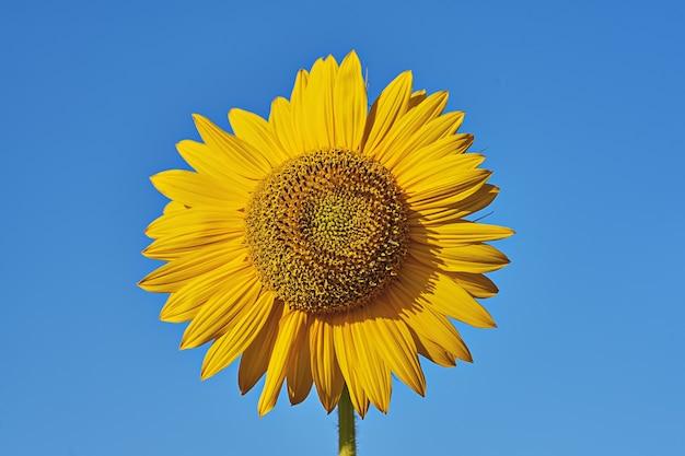 Pojedynczy kwiatostan słonecznika z bliska