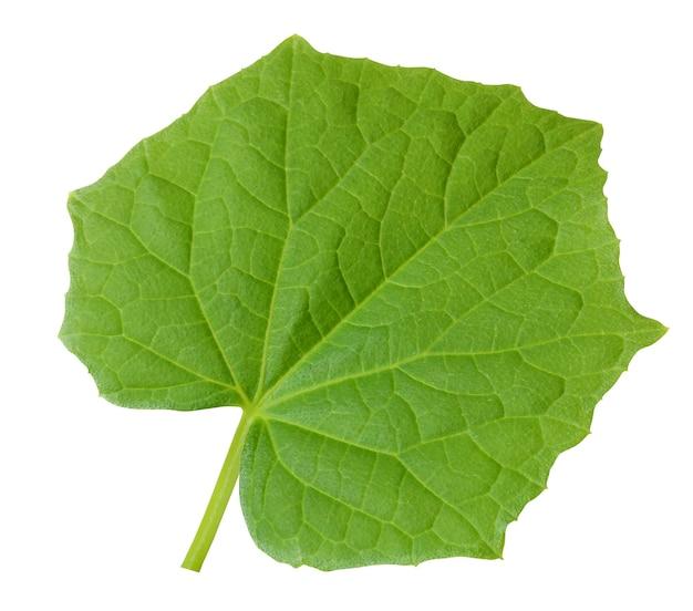 Pojedynczy liść ogórka na białym tle