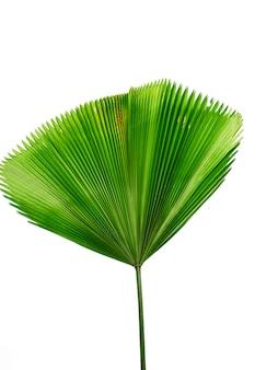 Pojedynczy liść palmowy na białym tle