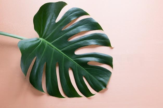 Pojedynczy liść rośliny monstera na różowo