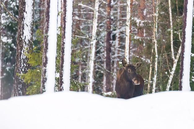 Pojedynczy łoś byk w zimowym lesie