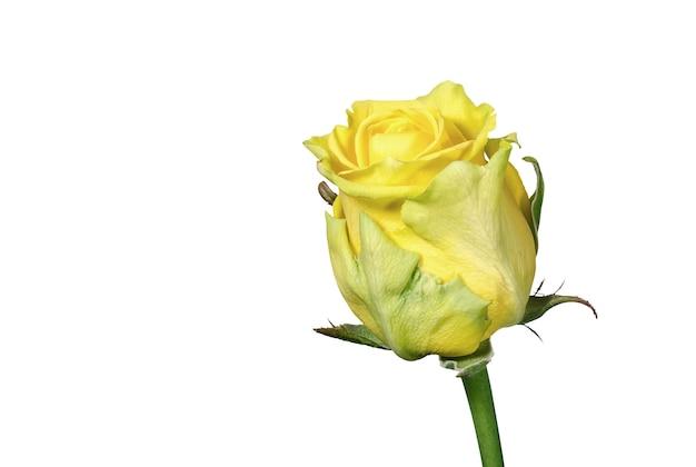 Pojedynczy pączek żółtej róży na białym tle