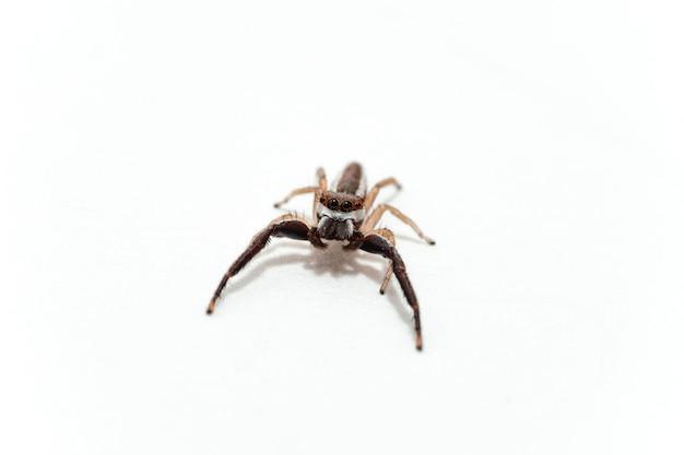 Pojedynczy pająk na białym tle