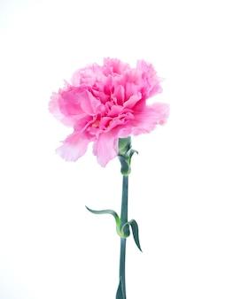 Pojedynczy różowy goździk kwiat na białym tle