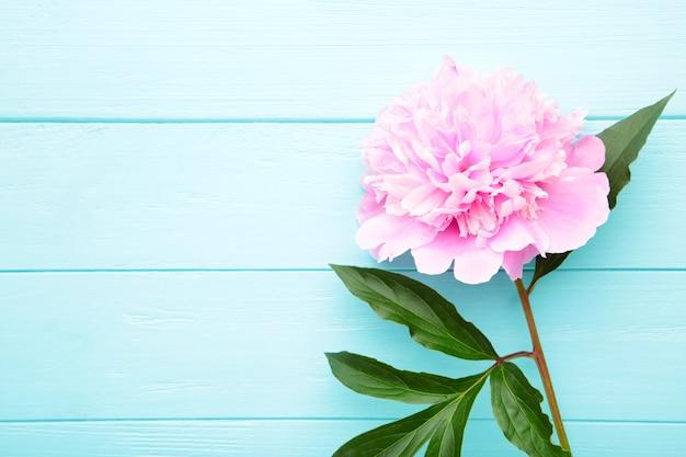 Pojedynczy różowy peonia kwiat na błękitnym drewnianym tle.