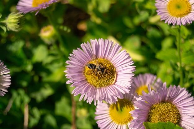Pojedynczy stokrotka kwiat, pszczoła w zielonym tle i