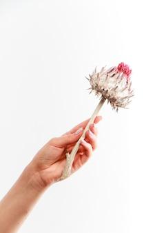 Pojedynczy suchy kwiat karczocha w kobiecej dłoni na białym tle