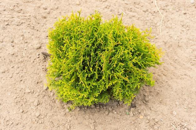 Pojedynczy zielony krzew na piaszczystym podłożu w ciągu dnia