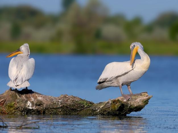 Pojedynek i para pelikanów dalmatyńskich (pelecanus crispus)