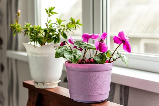 Pokój cyklamen kwiat kwitnący na balkonie. butelka wody i kwiatów.
