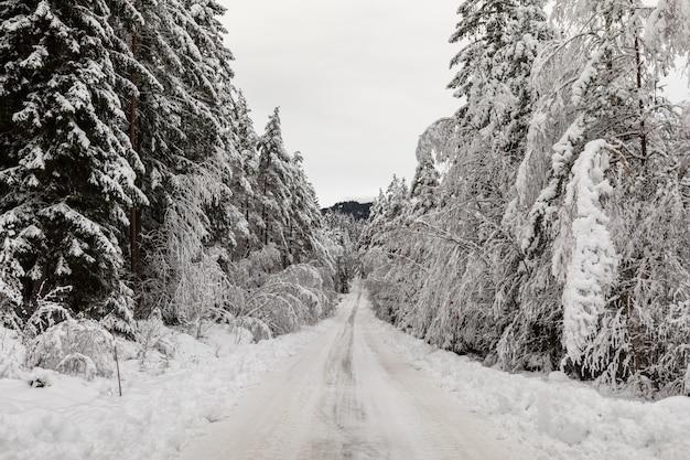 Pokryta śniegiem droga w skandynawskim lesie sosnowym z zaśnieżoną podłogą i pniami sosny, pinus sylvestris.