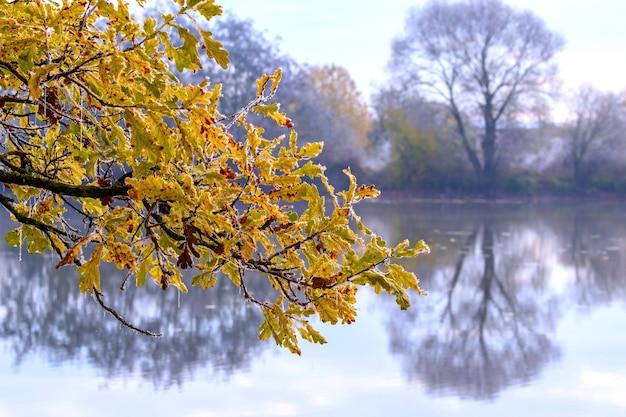 Pokryta szronem gałąź dębu z żółtymi liśćmi w pobliżu rzeki, w której odbijają się drzewa