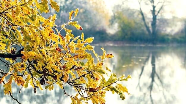 Pokryta szronem gałąź dębu ze złotymi jesiennymi liśćmi na tle rzeki