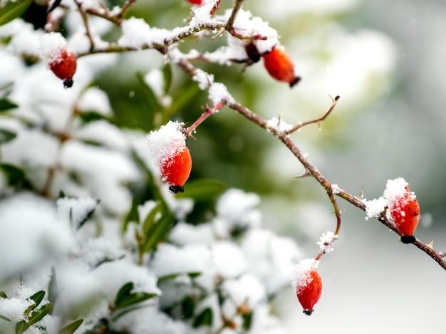 Pokryte śniegiem czerwone jagody dzika róża w ogrodzie
