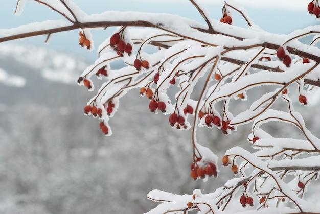 Pokryte śniegiem czerwone jagody w zimowym lesie