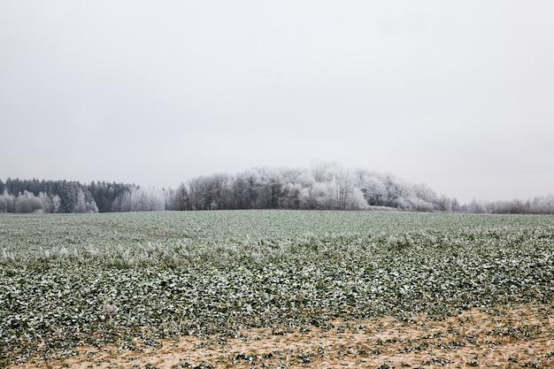 Pokryte śniegiem drzewa