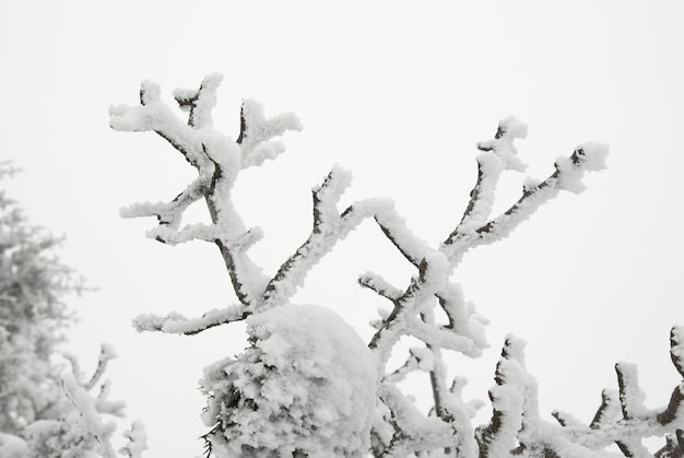 Pokryte śniegiem gałąź z drzewa zimą