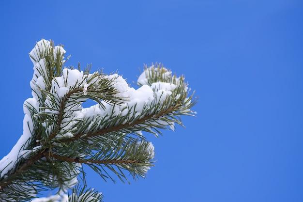 Pokryte śniegiem gałęzie świerkowe na zewnątrz. zimowe szczegóły natury.
