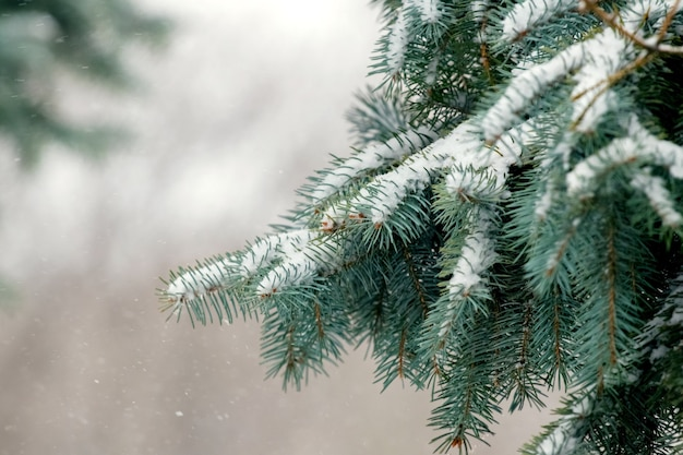 Pokryte śniegiem gałęzie świerkowe podczas opadów śniegu