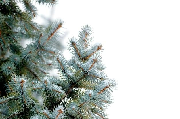 Pokryte śniegiem gałęzie świerkowe