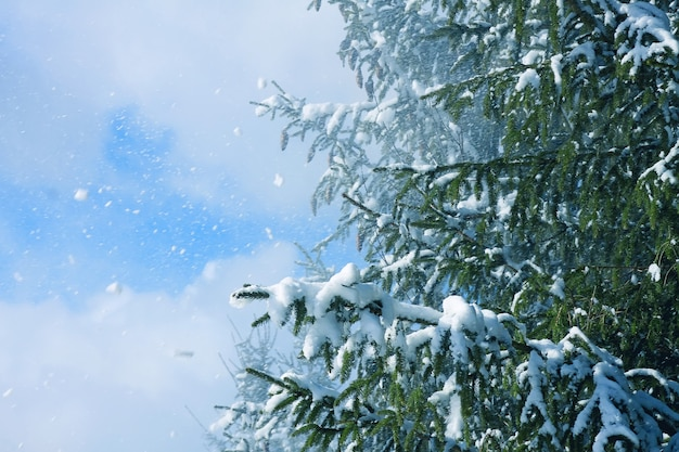 Pokryte śniegiem jodły na zewnątrz na tle błękitnego nieba. zimowe szczegóły natury.
