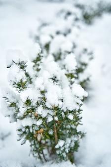 Pokryte śniegiem krzew w zimowym parku miejskim. piękno sezonu zimowego.
