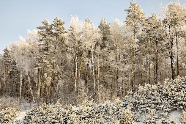 Pokryte śniegiem mieszane drzewa iglaste i liściaste zimą, biały śnieg leży wszędzie na gałęziach drzew i ziemi