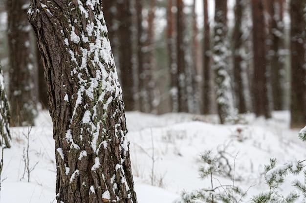 Pokryte śniegiem pnie sosnowe w sosnowym lesie, zimowy las