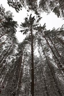 Pokryte śniegiem sosny rosnące w lesie w okresie zimowym. mroźna pogoda.