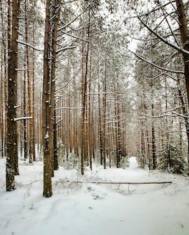 Pokryte śniegiem sosny sosny w zimie