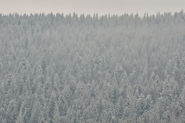 Pokryte śniegiem wierzchołki jodły, gęsty las iglasty