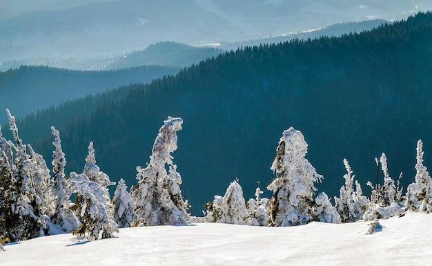 Pokryte śniegiem wygięte małe sosny w zimowych górach