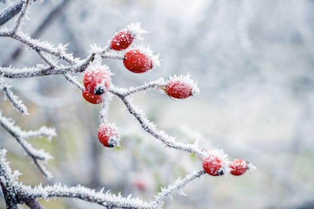 Pokryte szronem czerwone owoce róży na krzaku z rozmytym tłem