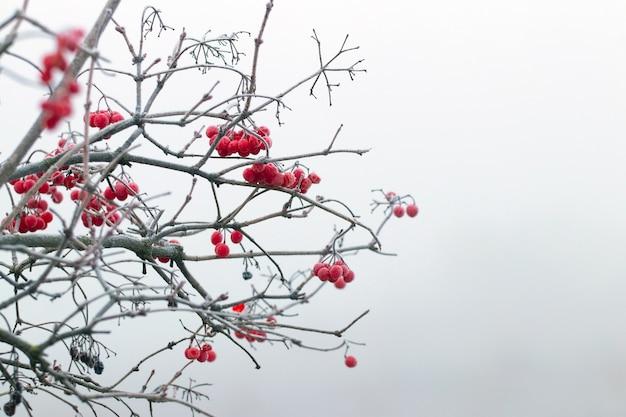 Pokryte szronem gałęzie kaliny z czerwonymi jagodami na jasnym tle