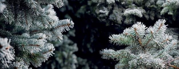 Pokryte szronem gałęzie świerkowe, panorama. boże narodzenie i nowy rok w tle