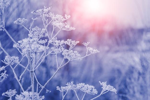 Pokryte szronem łodygi suchej trawy w lesie rano o wschodzie słońca. zimowy wschód słońca we mgle