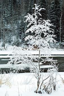 Pokryte szronem piękne zimowe drzewo nad brzegiem prawie zamarzniętej rzeki