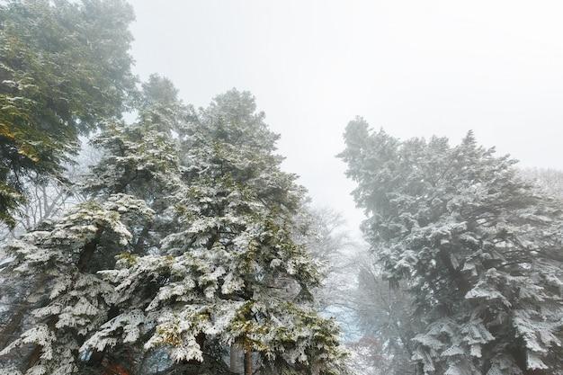 Pokryty śniegiem las iglasty w gęstej mgle, miękki kontrast