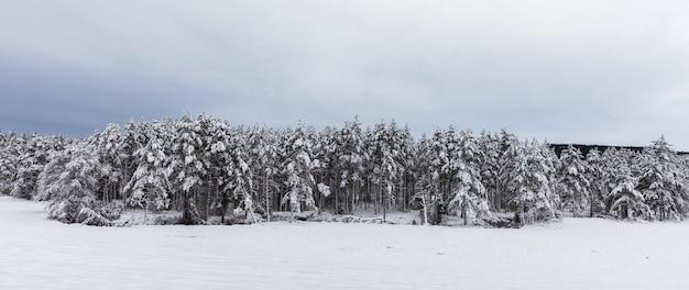 Pokryty śniegiem skandynawski las sosnowy z sosnami, pinus sylvestris.
