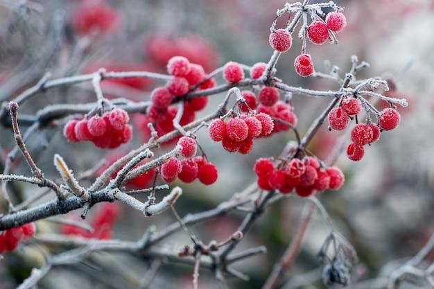 Pokryty szronem krzew kaliny z czerwonymi jagodami, zimowy widok