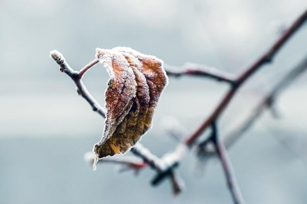 Pokryty szronem suchy liść z bliska