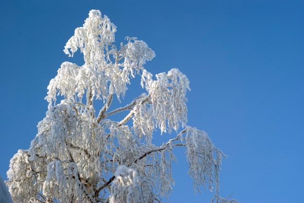 Pokryty szronem wierzchołka srebrnej brzozy na tle błękitnego nieba