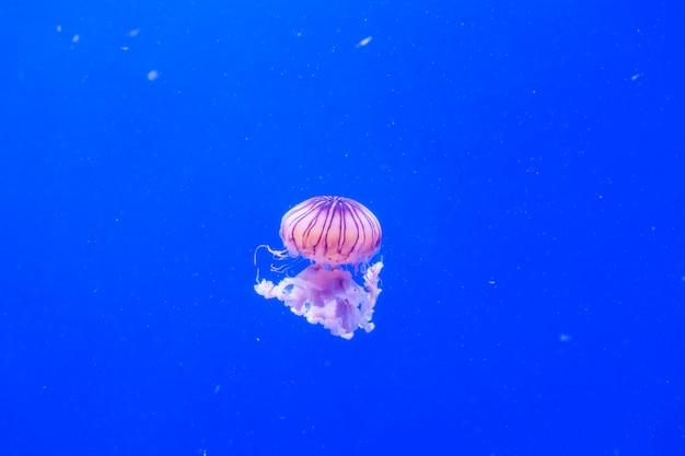 Pokrzywa oceaniczna meduza chrysaora melanaster. żywy róż na ciemnoniebieskim tle