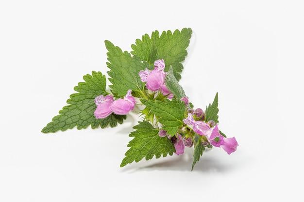Pokrzywy gałąź z liśćmi i kwiatami odizolowywającymi na bielu. urtica dioica