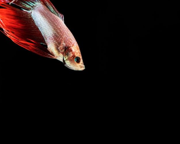 """""""pół księżyca"""" betta rybka pływa w kącie"""