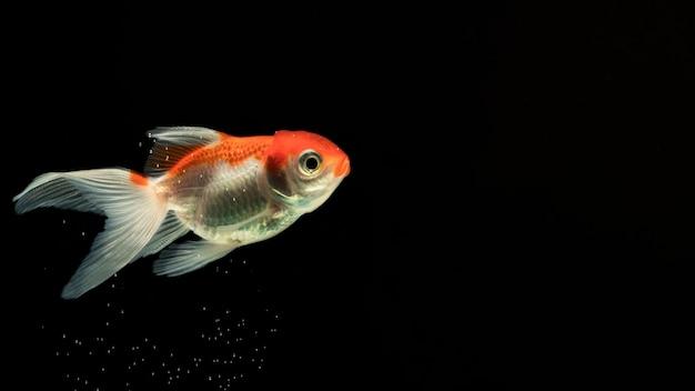 """""""pół księżyca"""" betta rybka pływająca w widoku z boku"""
